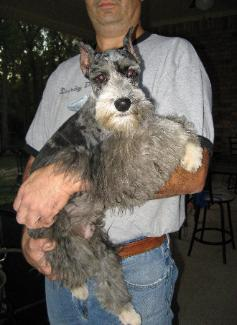 Merle Schnauzer Puppies For Sale 30 Minutes North Of Houston Tx